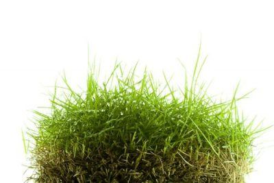 What are the Pros and Cons of Zoysia Grass in South Carolina?