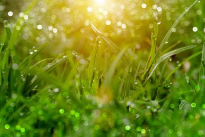 Why is Saint Augustine Grass So Popular in South Carolina?