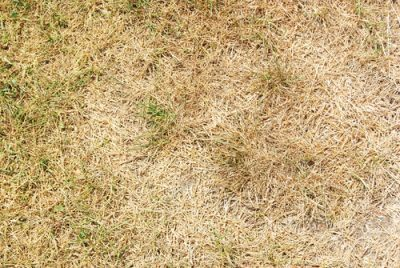 How Can I Avoid Winter Browning of St. Augustine Grass in South Carolina?